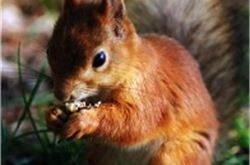Red squirrel populations expanding in Glen Nevis?